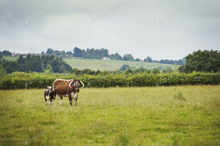 English Longhorn cattle in a field in England.
