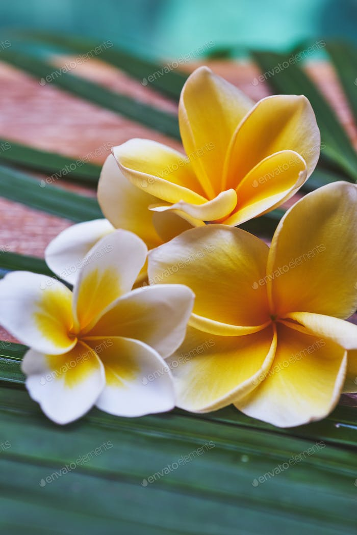 tropical plumeria flowers on a wooden table in spa.