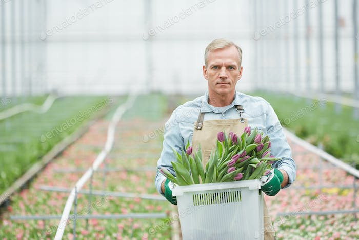 Man Carrying Fresh Tulips in Flower Plantation