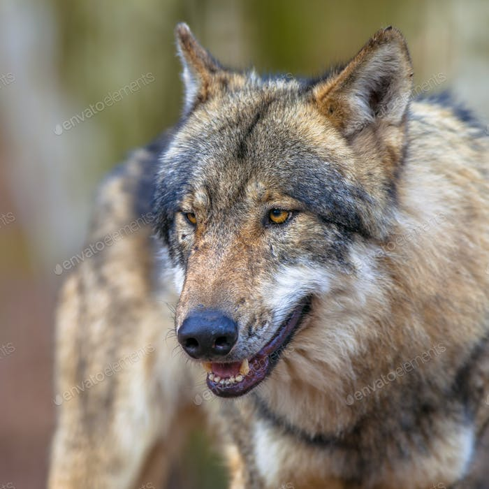 Portrait of a mean Threathening Grey Wolf
