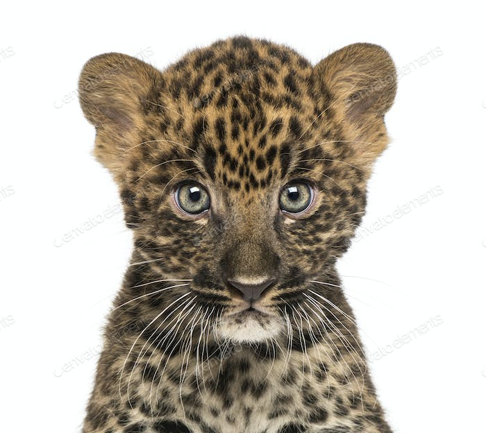 Close-up of a Spotted Leopard cub starring at the camera - Panthera pardus, 7
