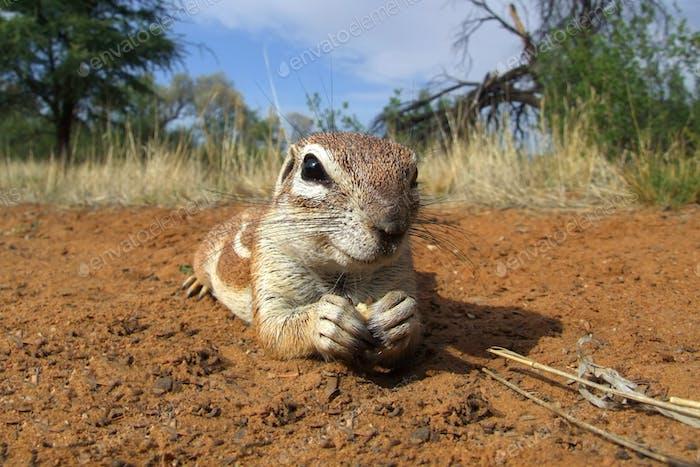 Inquisitive ground squirrel
