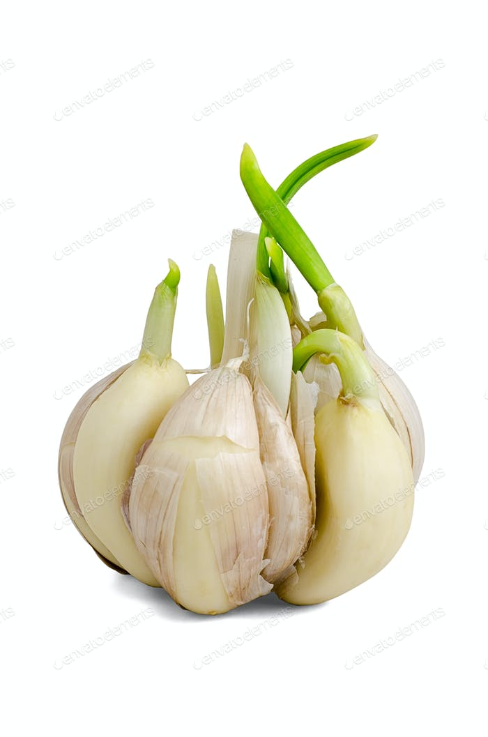 Sprouting garlic clove
