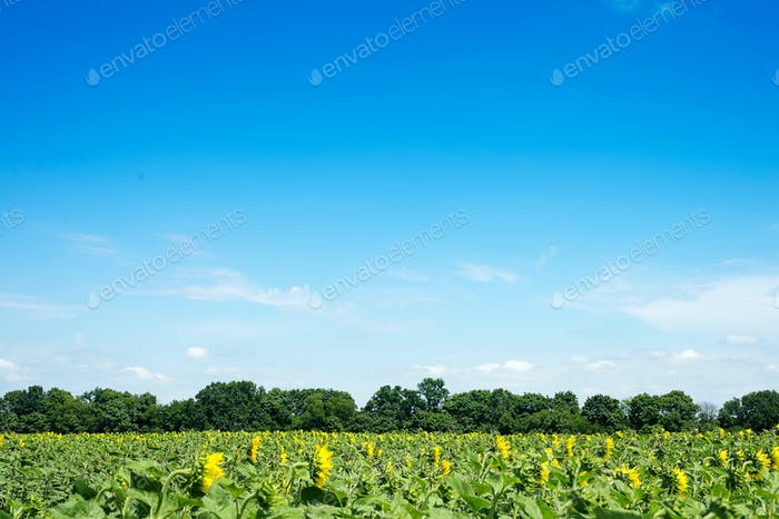 Sunflower field landscape with green forest. Sunflowers close under rainy clouds