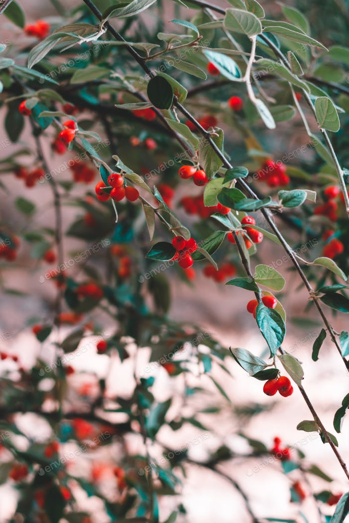 Abstract nature background with branches of a tree with red berries.