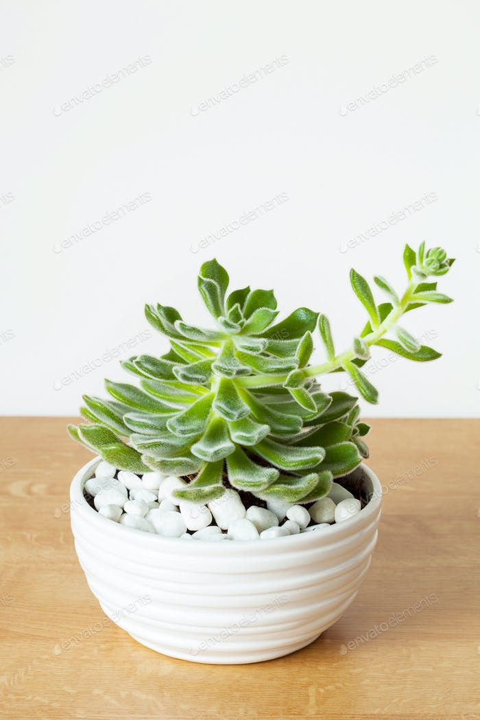 houseplant Echeveria leucotricha in white pot