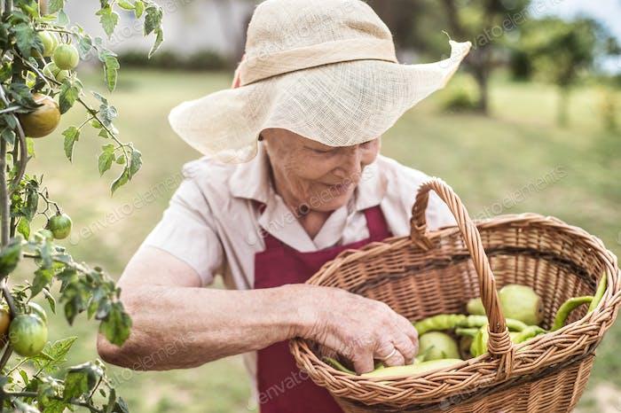 Senior woman in her garden harvesting vegetables and fruit