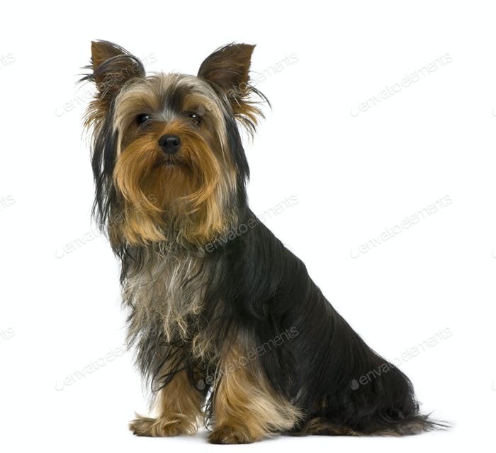 Yorkshire terrier, 7 months old, in front of white background