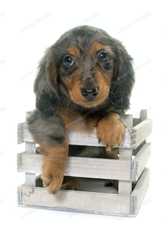 puppy dachshund  in studio