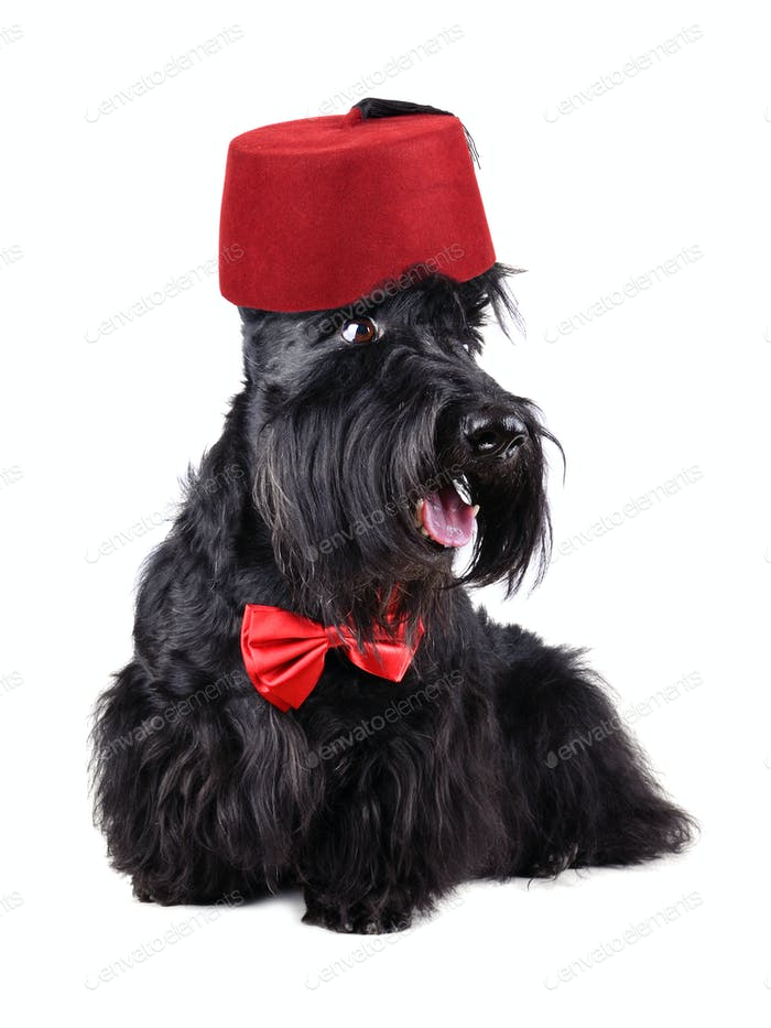 Scotch terrier in fez