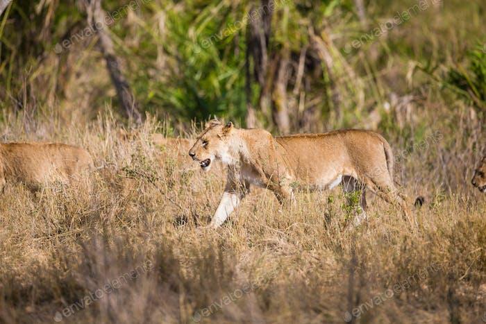 Stolz der Löwen gehen in Afrika