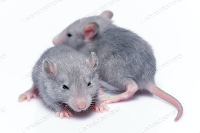 Thumbnail for cute baby rats