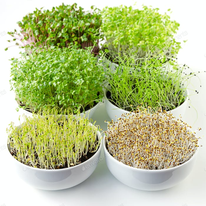 Microgreens sprouting in white bowls, vertical