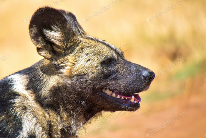 African Wild Dog, Rhino and Lion Nature Reserve, South Africa