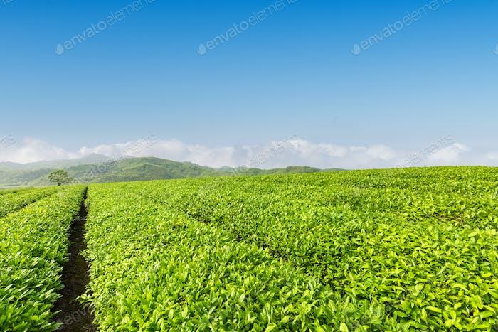 fresh green tea plantation in spring