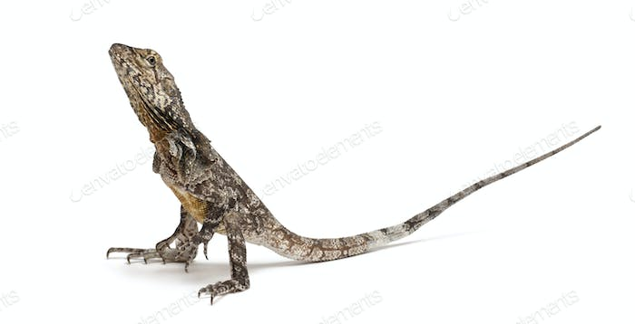 Frill-necked lizard also known as the frilled lizard, Chlamydosaurus kingii