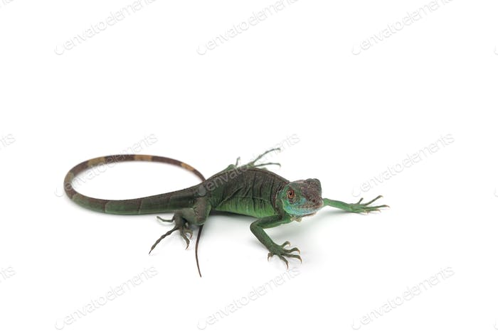 Iguana isolated on white background