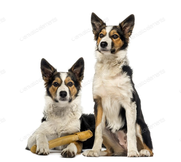 Two Border collies, one is lying with a bone and the other one is sitting