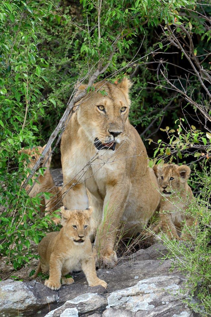 Female Lion with cub