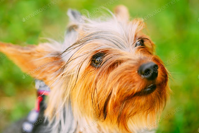 Close Up Yorkshire Terrier Dog Outdoor.