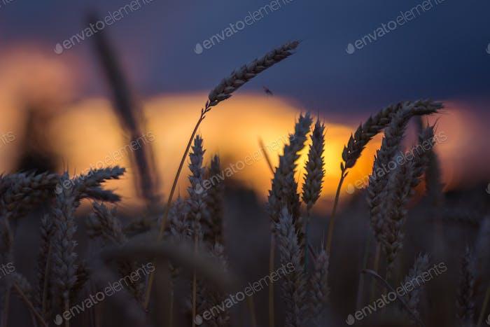 Silhouette der Weizenohren am Abend Sonnenuntergang Licht. Natürliches Licht beleuchtet. Schöne Sonnenfackeln bokeh