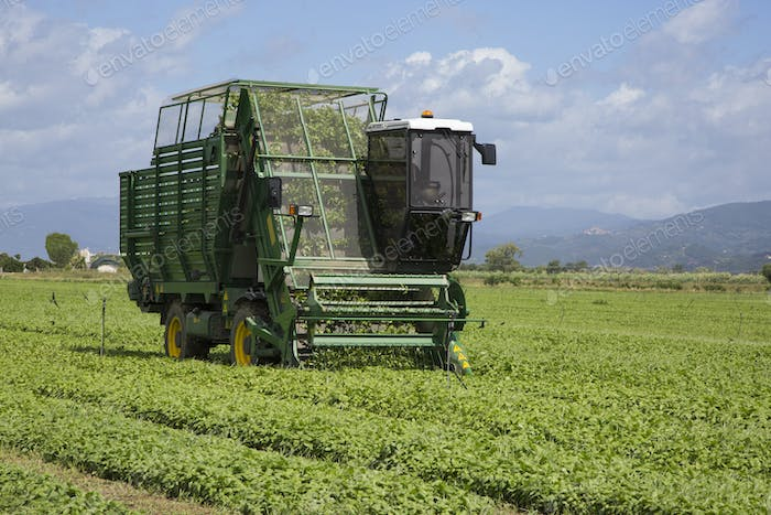 Harvesting of basil by machine