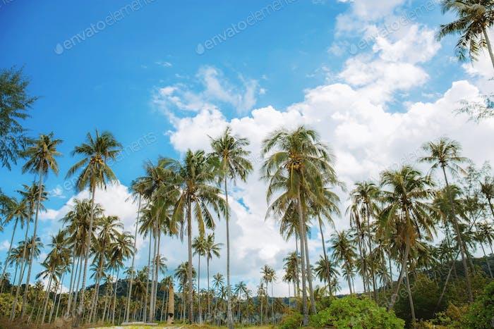 Coconut tree at blue sky