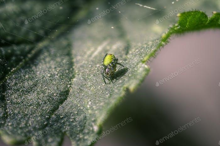 Little Green Spider on A Clover Leaf