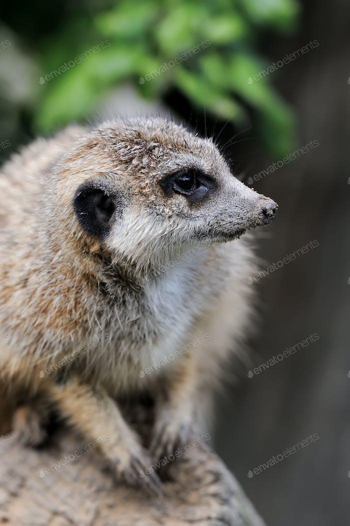 Close meerkat on branch