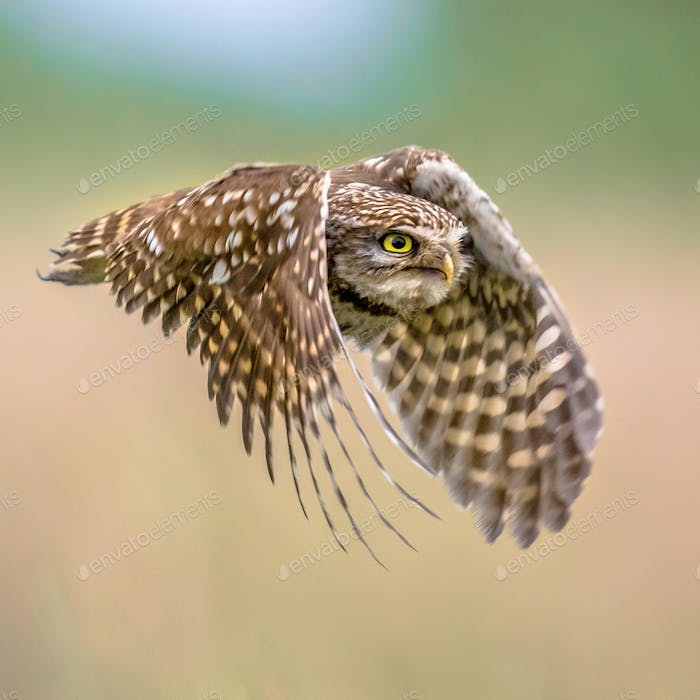 Little Owl flying on blurred background square