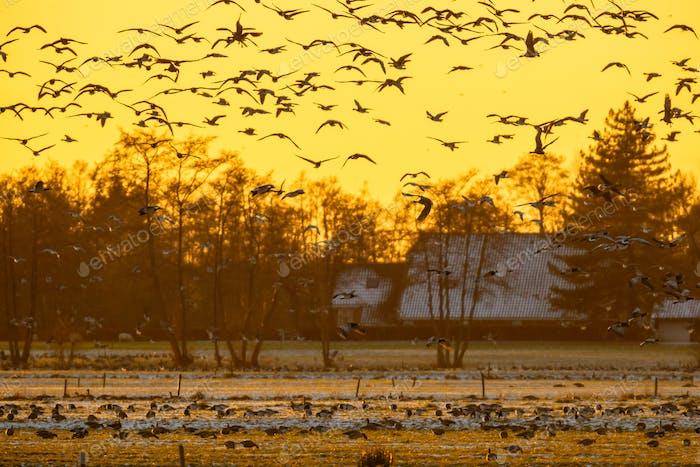 Herde von Gänsen bei Sonnenuntergang auf der Suche nach sicheren Rost Ort