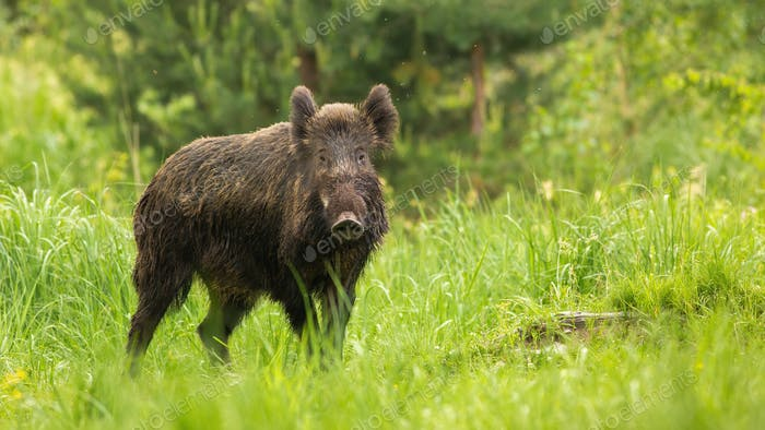 Alert wild boar looking into camera on green meadow in spring nature