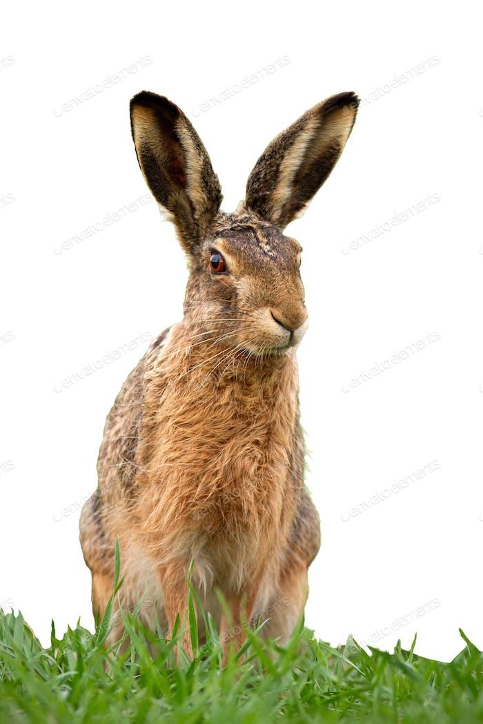 European brown hare, lepus europaeus in summer on green grass isolated on white