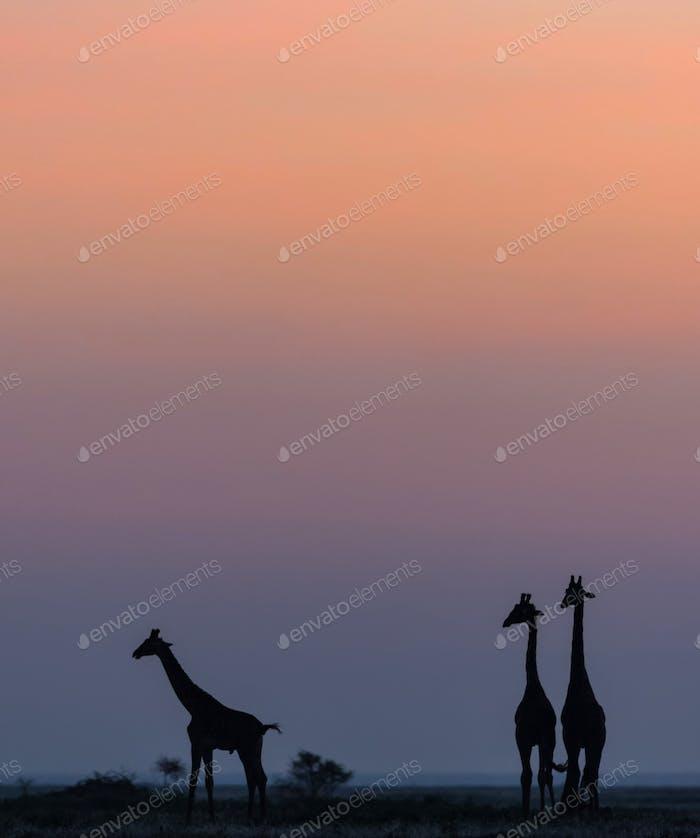 Giraffe im Safaripark in Afrika