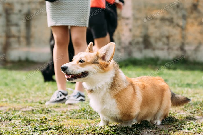 Pembroke Welsh Corgi Dog Is A Small Type Of Herding Dog That Ori
