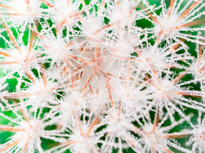macro image of cactus and with long needles and drops of water or dew, top view.