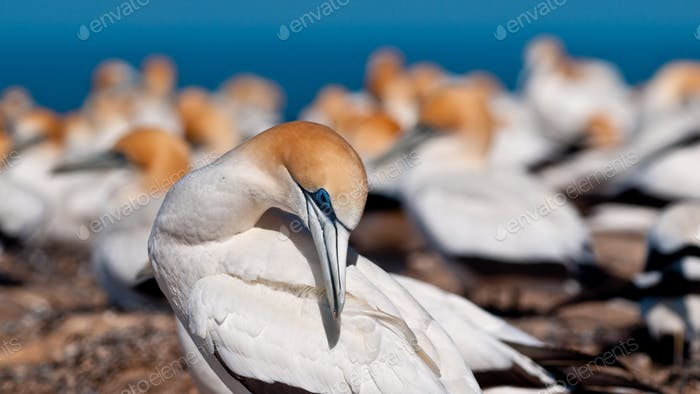 gannet in colony new zealand