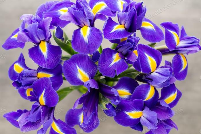 Iris flower on the gray background.