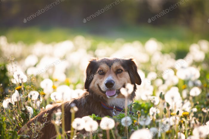 Dog in magic dandelion meadow.