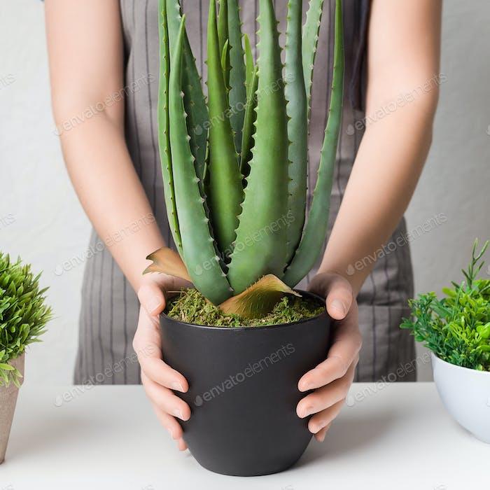 Gardener transplanting succulent plant in black pot