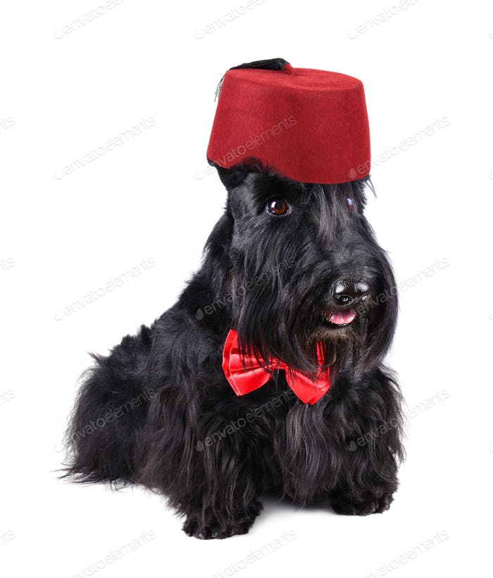 Black dog in red fez