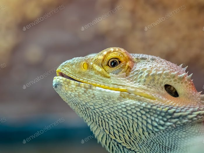 Close up of a bearded dragon lizard