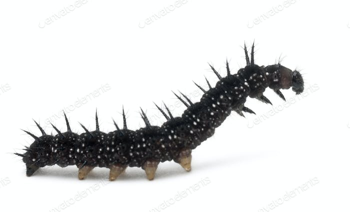 Caterpillar of a Peacock butterfly, Inachis io, in front of white background