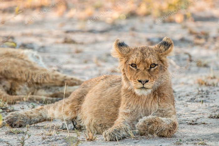 Lion cub laying in the sand and starring.