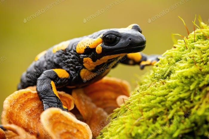 Endemic species of European fire salamander hiding in wilderness