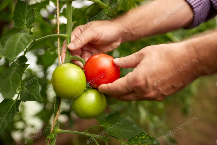 senior farmer picking tomatoes at farm greenhouse