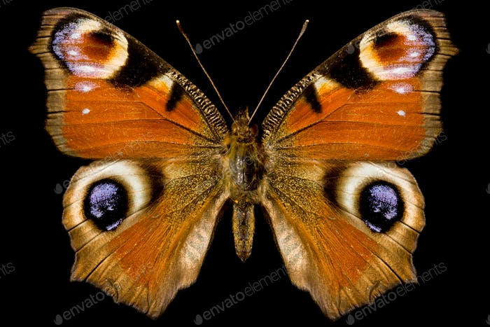 Butterfly, Inachis Io