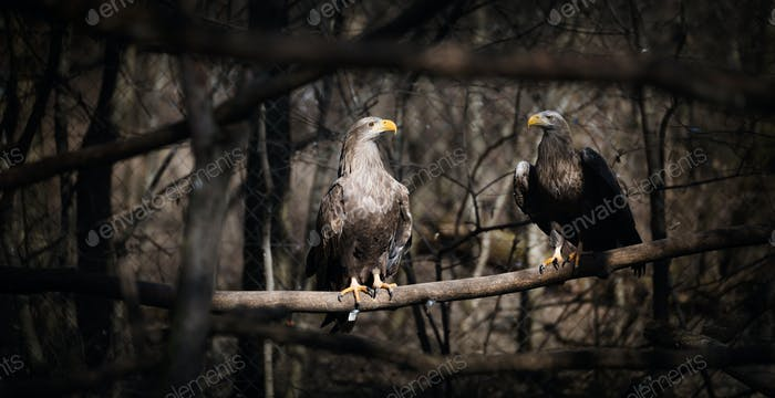 Two dark grey eagles in nature