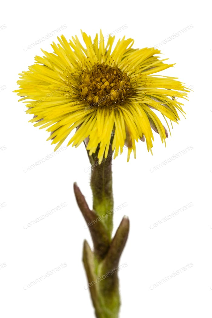 Yellow flower of coltsfoot, lat. Tussilago farfara, isolated on
