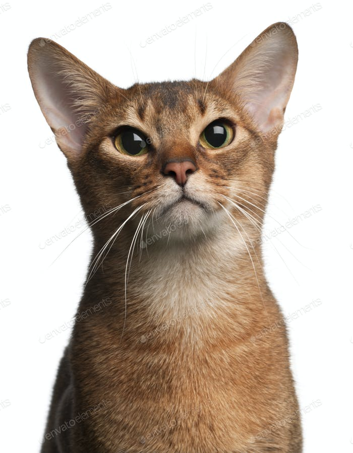 Abyssinian Cat, 1 year old, in front of white background